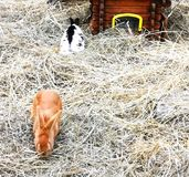 Easter bunnies in hay. Colourful easter bunnies in hay playing and eating. mammals stock images