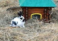 Easter bunnies in hay. Colourful easter bunnies in hay playing and eating. mammals stock image