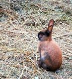 Easter bunnies in hay. Colourful easter bunnies in hay playing and eating. mammals stock photo