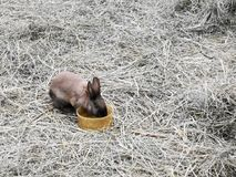 Easter bunnies in hay. Colourful easter bunnies in hay playing and eating. mammals royalty free stock photos