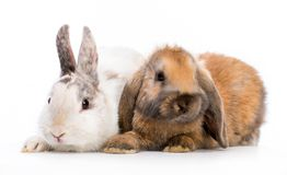 Easter bunnies Stock Images