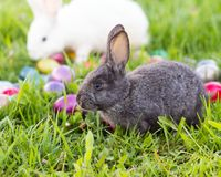 Easter Bunnies. White and grey easter bunnies in the grass with colorful easter eggs Stock Photography