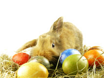 Easter Bunny. And easter eggs on a nest in front of a white background Royalty Free Stock Photos