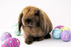 Easter bunny. A cute brown bunny with easter eggs Stock Image