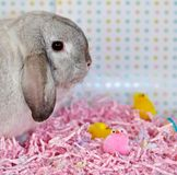Easter Bunny. White easter bunny sitting on pink easter grass with two yellow chick and on pink chick royalty free stock image