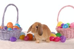 Easter bunny. A cute lop rabbit sits among coloured eggs Royalty Free Stock Photo