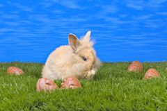 Easter bunny. Easter rabbit sitting on grass with a blue sky stock image