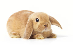 Free Easter Bunny Royalty Free Stock Photo - 24222955