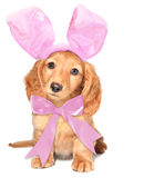 Easter bunny. Miniature dacshund with Easter bunny ears and a pink bow Royalty Free Stock Image
