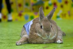 Easter Bunny. Portrait of fat rabbit royalty free stock photos