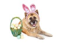 Easter Bunny Akita Dog Stock Photos