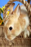 Easter bunny in a basket Royalty Free Stock Photo