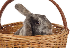Easter bunny in the basket Royalty Free Stock Photo