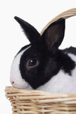 Easter bunny in basket. Easter black and white bunny in basket stock photography