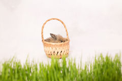 Easter bunny in a basket behind green spring grass Royalty Free Stock Image