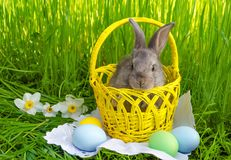 Easter bunny in Easter basket with easter colored eggs Royalty Free Stock Photo