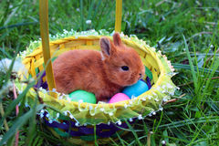 Easter bunny in a basket with colorful eggs on green lawn Stock Photography
