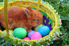 Easter bunny in a basket with colorful eggs on green lawn Stock Photos