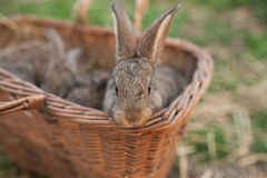Easter bunny in basket. On grass background Stock Image