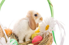 Easter Bunny in a basket with eggs Royalty Free Stock Image