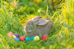 Easter bunny with a basket of eggs on spring flowers background. Card of cute hare outdoor Stock Photography