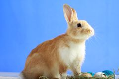 Easter bunny on blue background Royalty Free Stock Photography