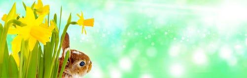 Easter bunny, Bokeh, Banner Royalty Free Stock Photos