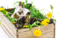 Easter Bunny in a box Royalty Free Stock Photo