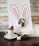 Easter bunny cat eating chocolate egg. Blue-eyed kitten with rabbit ears painted on white sheet royalty free stock photo