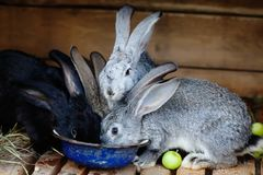 Easter bunny concept. Cute gray black rabbits, fluffy pets and blue bowl with food. Easter bunny concept. Cute gray black rabbits, fluffy pets and blue bowl royalty free stock photos