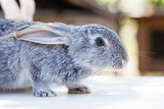Easter bunny concept. Small cute rabbit, fluffy gray pet. soft focus, shallow depth of field copy space. Stock Photo