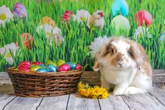 Easter bunny, cute rabbit with a basket of Easter eggs. Easter bunny cute rabbit  basket eggs decoration composition desktop background color chocolate animal royalty free stock image