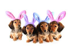 Easter bunny Dachshund puppies Stock Photo