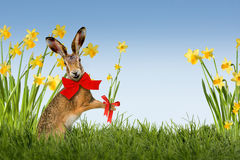 Easter Bunny with daffodils Stock Photos