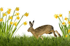 Easter Bunny with daffodils Royalty Free Stock Image