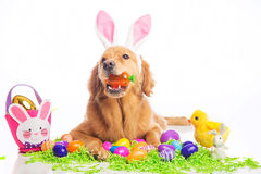 Easter Bunny Dog Royalty Free Stock Image