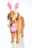 Easter bunny dog with basket and golden egg Stock Photo