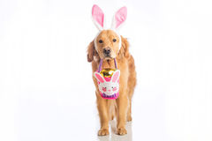 Easter bunny dog with basket and golden egg Stock Photos