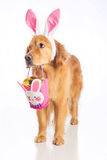 Easter bunny dog with basket and golden egg Stock Image