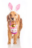 Easter bunny dog with basket and golden egg Royalty Free Stock Photo