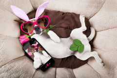 Easter bunny dog in bed Royalty Free Stock Photography