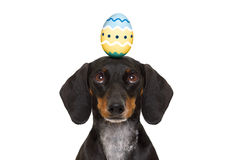 Easter bunny dog with egg Royalty Free Stock Images