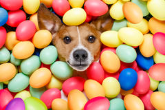 Easter bunny dog with eggs. Funny jack russell easter bunny dog with eggs around on grass as background stock image