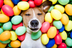 Easter bunny dog with eggs. Funny jack russell easter bunny dog with eggs around on grass as background, sleeping , relaxing and resting royalty free stock images