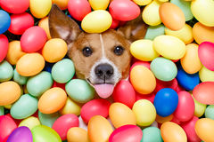 Easter bunny dog with eggs. Funny jack russell easter bunny dog with eggs around on grass as background, sticking out tongue royalty free stock photo
