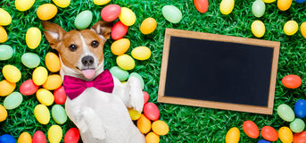 Easter bunny dog with eggs. Funny jack russell easter bunny dog with eggs around on grass sticking out tongue with blackboard or banner royalty free stock images