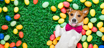 Easter bunny dog with eggs. Funny jack russell easter bunny  dog with eggs around on grass sticking out tongue  blank empty  space to the side Royalty Free Stock Images