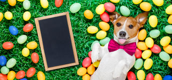 Easter bunny dog with eggs. Funny jack russell easter bunny dog with eggs around on grass sticking out tongue with empty blackboard , banner or placard royalty free stock photography