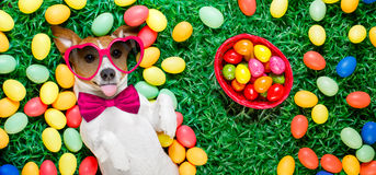 Easter bunny dog with eggs. Funny jack russell easter bunny dog with eggs around on grass sticking out tongue full basket to the side royalty free stock photo