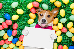 Easter bunny dog with eggs. Funny jack russell easter bunny dog with eggs around on grass sticking out tongue holding blank empty blackboard or banner stock photography
